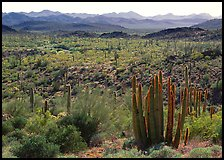 Cactus and Puerto Blanco Mountains. USA ( color)