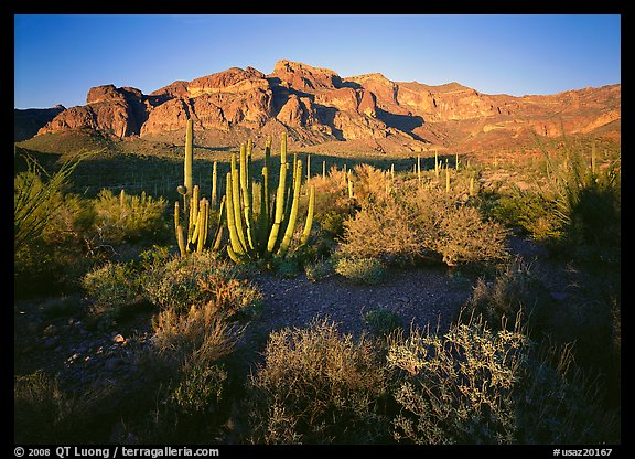 Organ Pipe cactus and Ajo Range, late afternoon. Organ Pipe Cactus  National Monument, Arizona, USA