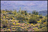 Organ pipe cactus and brittlebush on hillside, North Puerto Blanco Drive. Organ Pipe Cactus  National Monument, Arizona, USA (color)