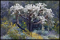 Chain fruit cholla cactus and brittlebush in bloom. Organ Pipe Cactus  National Monument, Arizona, USA
