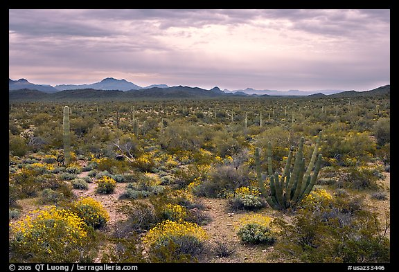 Cactus and brittlebush in the spring under cloudy skies, North Puerto Blanco Drive. Organ Pipe Cactus  National Monument, Arizona, USA