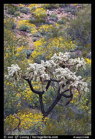 Chain fruit cholla cactus and brittlebush in bloom. Organ Pipe Cactus  National Monument, Arizona, USA (color)