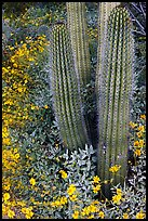 Base of organ pipe cactus and yellow brittlebush flowers. Organ Pipe Cactus  National Monument, Arizona, USA (color)