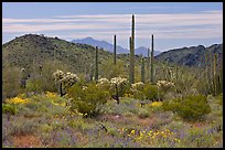 Cactus, annual flowers, and mountains. Organ Pipe Cactus  National Monument, Arizona, USA