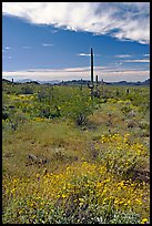 Britlebush in bloom, saguaro cactus, and mountains. Organ Pipe Cactus  National Monument, Arizona, USA (color)