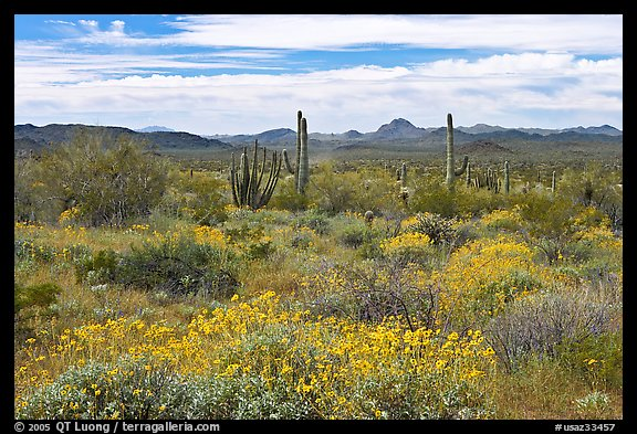 Desert in bloom with britlebush,  saguaro cactus, and mountains. Organ Pipe Cactus  National Monument, Arizona, USA