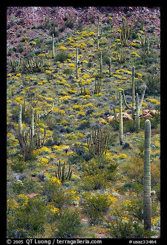 Slope with cactus and brittlebush, Ajo Mountains. Organ Pipe Cactus  National Monument, Arizona, USA