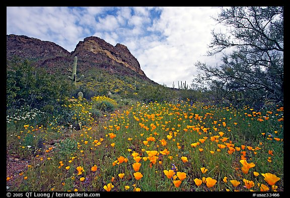 Mexican Poppies and Ajo Mountains. Organ Pipe Cactus  National Monument, Arizona, USA