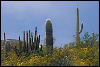 Saguaro cactus, approaching storm. Organ Pipe Cactus  National Monument, Arizona, USA (color)