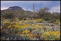 Brittlebush, cactus, storm clouds, and Ajo Mountains. Organ Pipe Cactus  National Monument, Arizona, USA