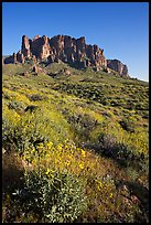 Brittlebush (Encelia farinosa) and craggy mountains, Lost Dutchman State Park, late afternoon. Arizona, USA