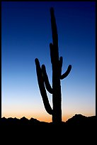 Saguaro cactus silhoueted at sunset, Lost Dutchman State Park. Arizona, USA (color)