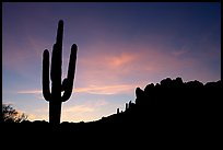Saguaro cactus and Superstition Mountains silhoueted at sunrise, Lost Dutchman State Park. Arizona, USA ( color)