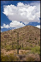 Saguaro cactus, hill, and clouds, Sonoran Desert National Monument. Arizona, USA (color)
