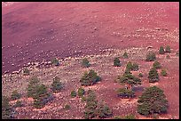 Pines on cinder slopes of crater at sunrise. Sunset Crater Volcano National Monument, Arizona, USA