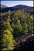 Pine trees growing on lava fields, Sunset Crater Volcano National Monument. Arizona, USA