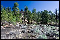 Cinder and pine trees, Coconino National Forest. Arizona, USA ( color)