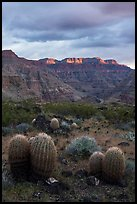 Barrel Cactus and last light on Grand Canyon rim. Parashant National Monument, Arizona, USA ( color)