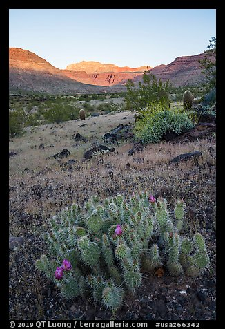 Cactus in bloom, sunrise on cliffs, Whitmore Wash. Grand Canyon-Parashant National Monument, Arizona, USA (color)
