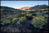 Brittlebush in bloom and balsalt rock, Whitmore Wash. Parashant National Monument, Arizona, USA ( color)