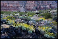 Brittlebush in bloom and Grand Canyon walls, Whitmore Wash. Parashant National Monument, Arizona, USA ( color)