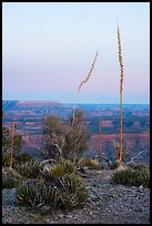 Agave stalks at dusk, Twin Point Overlook. Parashant National Monument, Arizona, USA ( color)