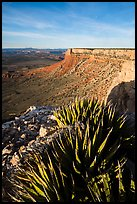 Succulents on Grand Canyon Rim, Twin Point. Parashant National Monument, Arizona, USA ( color)