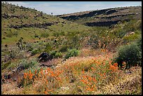 Wild poppies in canyon. Parashant National Monument, Arizona, USA ( color)