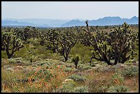 Wild poppies and dense Joshua Tree forest. Parashant National Monument, Arizona, USA ( color)