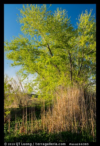 Wetland grasses and newly leafed tree. Grand Canyon-Parashant National Monument, Arizona, USA (color)