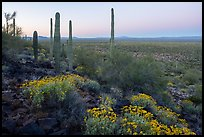 Vekol Valley in springtime at dawn. Sonoran Desert National Monument, Arizona, USA ( color)