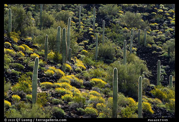 Cactus and Brittlebush in bloom on volcanic slope, Table Mountain Wilderness. Sonoran Desert National Monument, Arizona, USA (color)