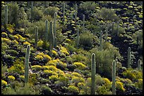 Cactus and Brittlebush in bloom on volcanic slope, Table Mountain Wilderness. Sonoran Desert National Monument, Arizona, USA ( color)