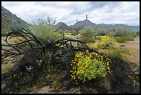 Burned tree and brittlebush, Margies Cove. Sonoran Desert National Monument, Arizona, USA ( color)