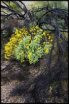 Detail of Burned tree and brittlebush. Sonoran Desert National Monument, Arizona, USA ( color)