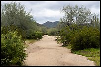Desert Wash bordered by lush vegetation, Margies Cove. Sonoran Desert National Monument, Arizona, USA ( color)