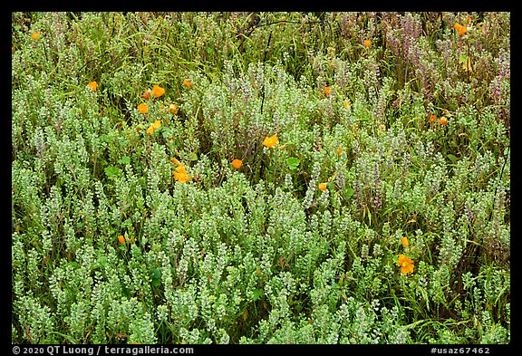 Cloakferns and flowers. Sonoran Desert National Monument, Arizona, USA (color)