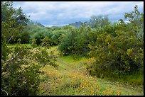 Lush desert vegetation. Sonoran Desert National Monument, Arizona, USA ( )