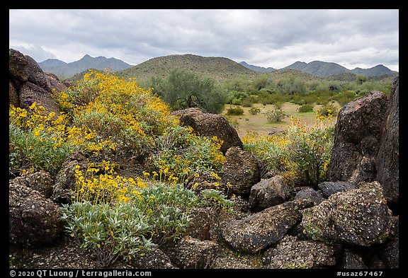 Brittlebush, volcanic boulders, North Maricopa Mountains Wilderness. Sonoran Desert National Monument, Arizona, USA (color)