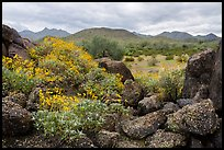 Brittlebush, volcanic boulders, North Maricopa Mountains Wilderness. Sonoran Desert National Monument, Arizona, USA ( color)