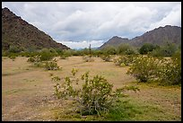 Grassy desert flat, North Maricopa Mountains. Sonoran Desert National Monument, Arizona, USA ( color)