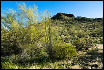 Palo Verde and Lost Horse Peak. Sonoran Desert National Monument, Arizona, USA ( color)