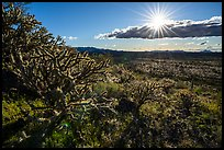 Buckhorn Cholla Cactus and sun. Sonoran Desert National Monument, Arizona, USA ( )