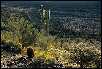 Barrel, Cholla and Saguaro cacti on hillside. Sonoran Desert National Monument, Arizona, USA ( color)