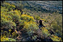 Brittlebush in bloom on Lost Horse Peak. Sonoran Desert National Monument, Arizona, USA ( color)