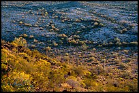 Slope with desert shrubs overlooking plain with saguaro cactus. Sonoran Desert National Monument, Arizona, USA ( color)