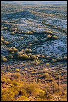 Shrubs and cactus, late afternoon. Sonoran Desert National Monument, Arizona, USA ( color)