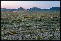 Saguaro cactus and shrubs in Vekol Valley at sunset. Sonoran Desert National Monument, Arizona, USA ( color)