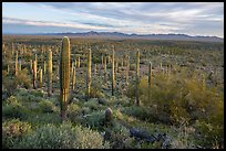 Dense Saguaro cactus forest at sunrise with distant South Maricopa Mountains. Sonoran Desert National Monument, Arizona, USA ( color)