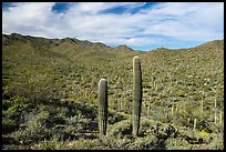 Sand Tank Mountains slopes covered with Saguaro cactus. Sonoran Desert National Monument, Arizona, USA ( color)